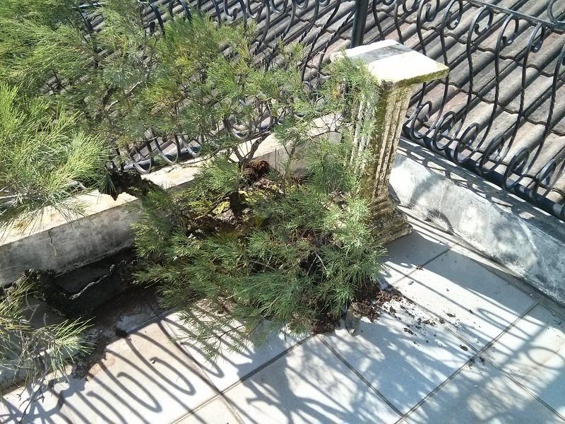Ketika hujan menjatuhkan bonsai: foto ini diambil pagi ahrinya, saat ingin membenarkan posisi bonsai ini lagi dan ganti pot nya.